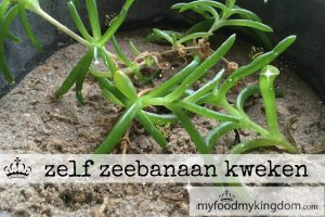 blog zelf zeebanaan kweken